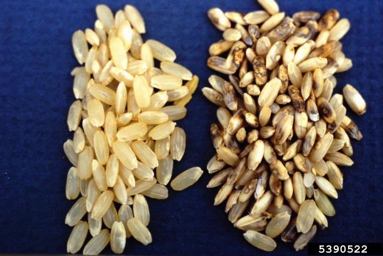 Helminthosporium oryzae arroz. Plasture pentru detoxifiere